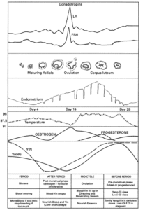 Dysmenorrhoe (Regelschmerzen) Menstruation Zyklus